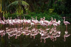 Herde rosa Flamingos