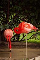 Flamingo im Zoo von Lissabon