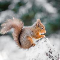 rotes Eichhörnchen thront auf Baumstumpf