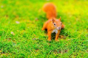 rotes Eichhörnchen sitzt auf dem Gras