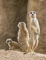 Erdmännchen Familie