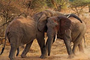 Elefanten spielen in Selenkay Erhaltung