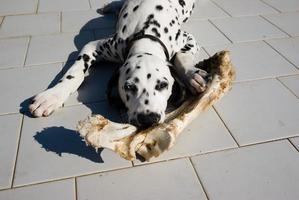 Junghund Dalmata mit Knochen foto
