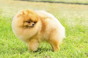 pommerscher Hund