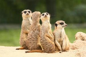 Gruppe von Erdmännchen auf dem grünen Hintergrund