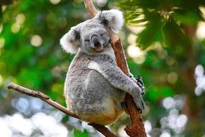 schlafender Koala foto