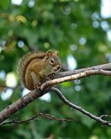 vertikales Format des roten Eichhörnchens