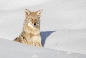 Kojote (Canis Latrans) foto