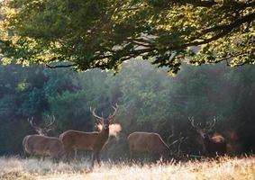 Rotwild Hirsche am kalten Morgen in der Landschaft