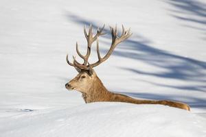 Hirschporträt auf dem Schneehintergrund foto