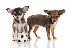 zwei Chihuahua-Welpen.