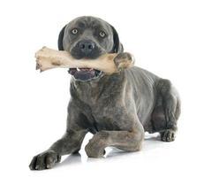 italienischer Mastiff und Knochen foto