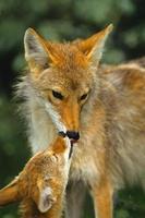 Kojotenmutter und Welpe interagieren foto