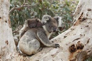 Baby Koala auf dem Rücken der Mutter foto