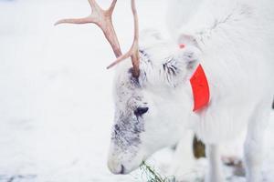 schönes weißes Rentier auf einem Bauernhof in der Landschaft von Lappland