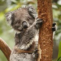 Koala foto