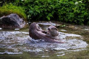 Zwei europäische Flussotter spielen in einem Bach foto