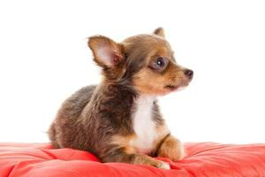 Chihuahua Hund auf rotem Kissen