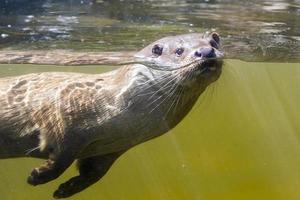 Schwimmender Otter (Lutra Lutra) foto