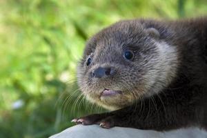 Otter Baby foto