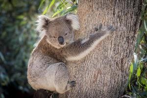 Ein Koala, Australien, klettert auf einen Eukalyptusbaum und schaut nach unten