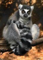 Lemur in einem Baum foto