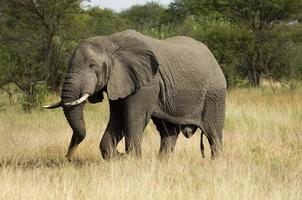 Afrikanischer Elefant foto