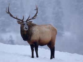 ein großer männlicher Elch in den schneebedeckten felsigen Bergen