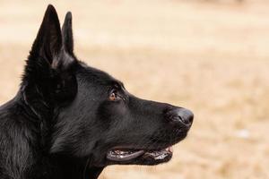schwarzer deutscher schäferhund foto