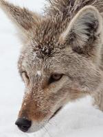 Kojoten-Nahaufnahme im Schnee foto
