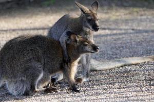 Kampf gegen Bennetts Wallabys foto