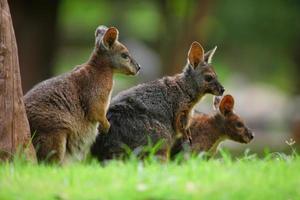 d Känguru foto
