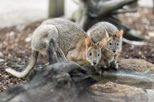 niedliche Wallabys in der Kapazität foto