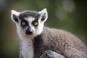 ringtailed Lemur foto