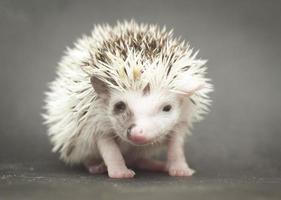 hübscher junger Nagetierigel-Babyhintergrund foto