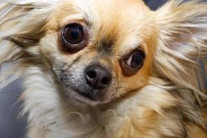 neugierige Chihuahua