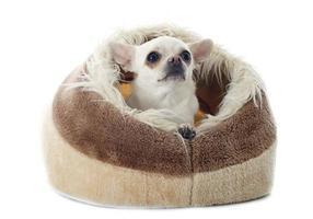 Chihuahua im Kissen