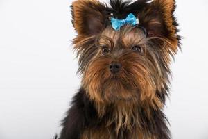 perro yorkshire en estudio