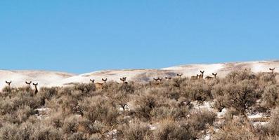 Hirsche auf einem Grat mit hochstehenden Ohren. foto