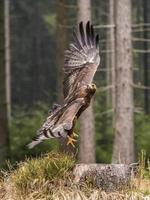 schöner Steinadler [aquila chrysaetos] fliegt. foto