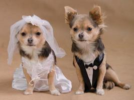 Chihuahua Braut und Bräutigam - Hunde Hochzeitszeremonie foto