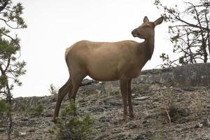weiblicher Elch stehend mit zurückgedrehtem Kopf, Yellowstone National