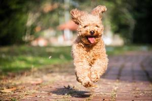 Pudelhund foto