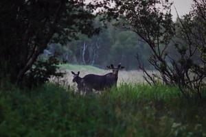 Morgentreffen mit Elch