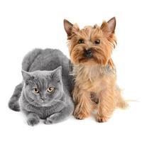 graue Katze mit einem kleinen stirnrunzelnden Hund