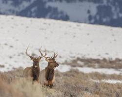 Paar Bullenelche im Winter