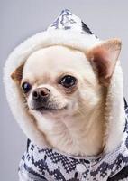 wunderbare Chihuahua