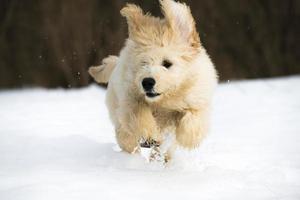 Welpe im Schnee foto