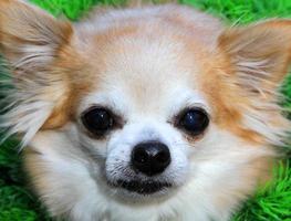 Chihuahua-Porträt foto