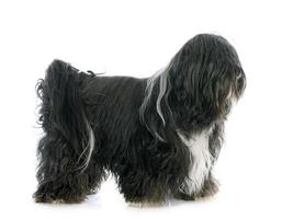 tibetischer Terrier
